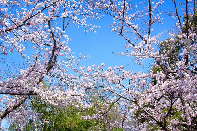 さくら林と青空(桜 林の画像)