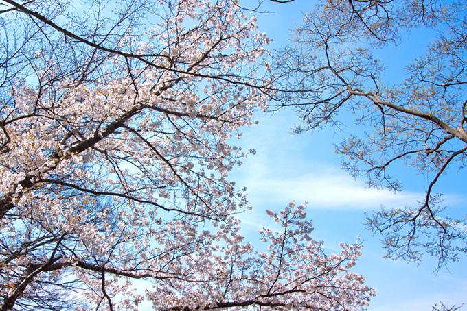 桜の木と雲がある空(桜 林の画像)