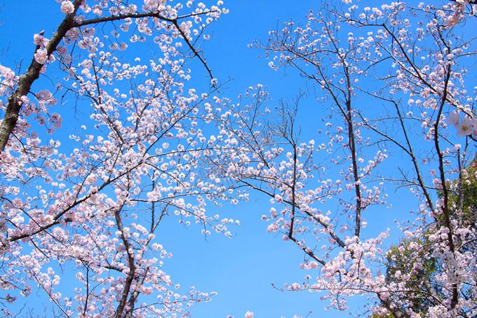 花咲くサクラと清らかな空(桜 林の画像)