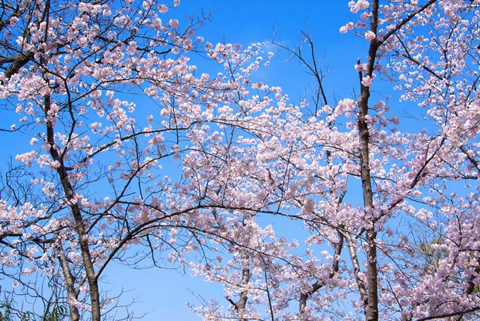 ピンクのさくらと青空の背景(桜 林の画像)