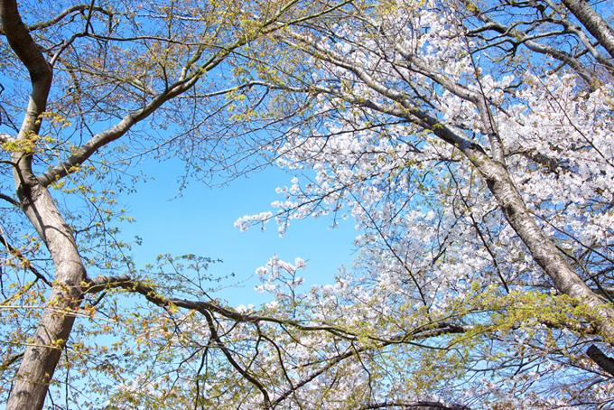 花桜と緑の葉をつけた木(桜 林の画像)