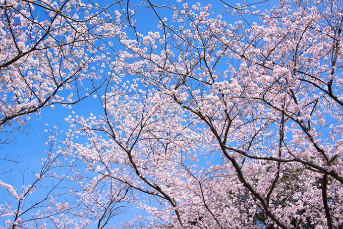 美しい桜の花開く空(桜 林の画像)