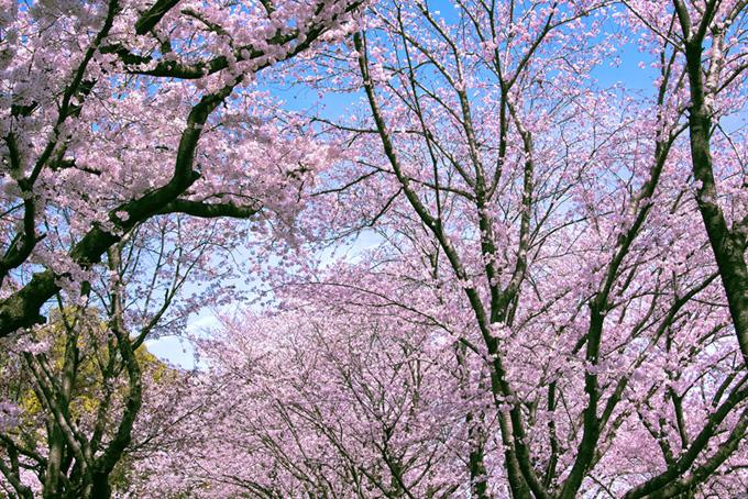 春の鮮やかな桜景色(桜 林の画像)