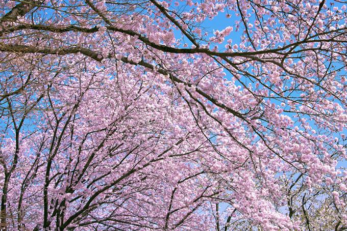 桜色に染まる春の林(桜 林の画像)