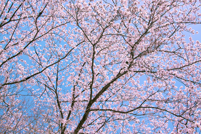 空一面に広がるピンクの枝(桜 林の画像)