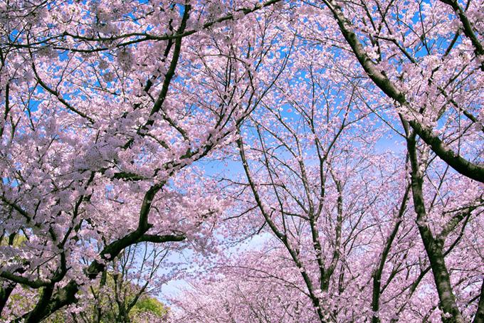 美しい日本の春風景(桜 林の画像)