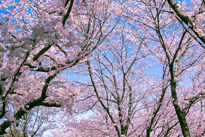 綺麗なピンクの桜林(桜 林の画像)