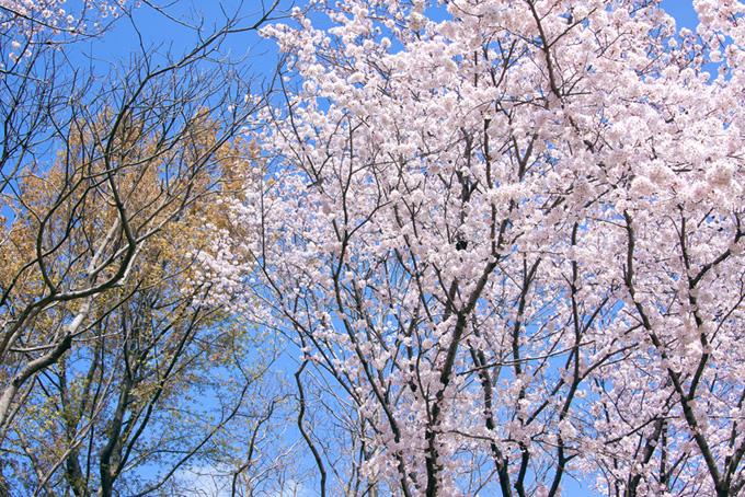 さくらと春の木々(桜 林の画像)