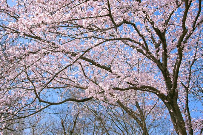 桜林に訪れる春(桜 林の画像)