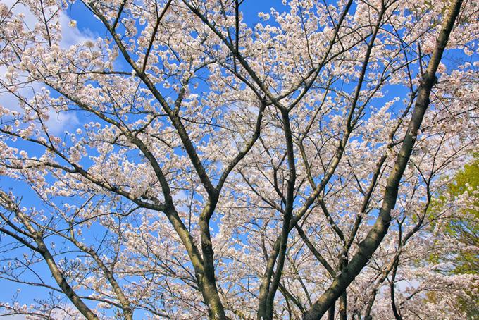 白い桜と青空の清々しい風景(桜 林の画像)