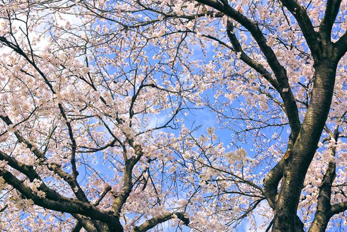 花が咲くソメイヨシノの木(桜 林の画像)