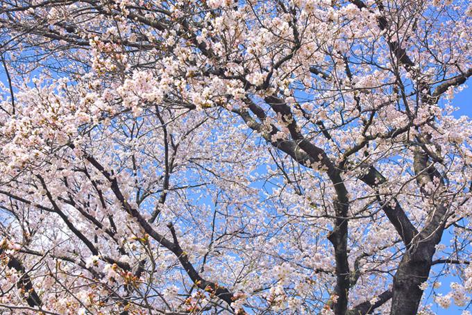 綺麗な花を付けた染井吉野(桜 林の画像)
