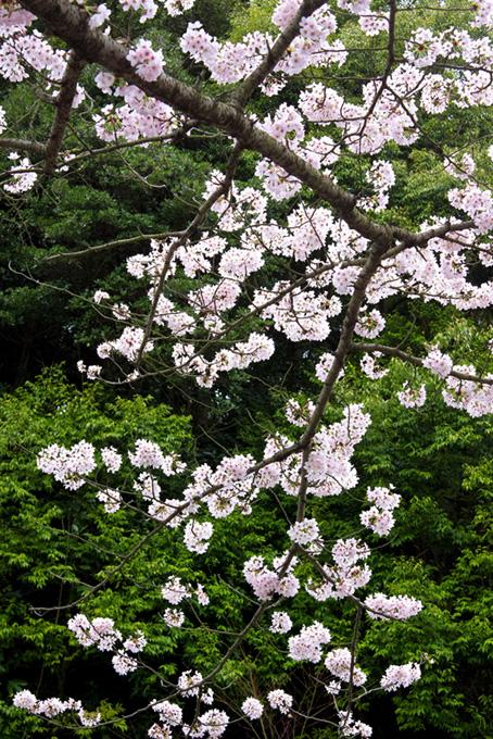 桜の背景イメージ(桜 春の背景フリー画像)