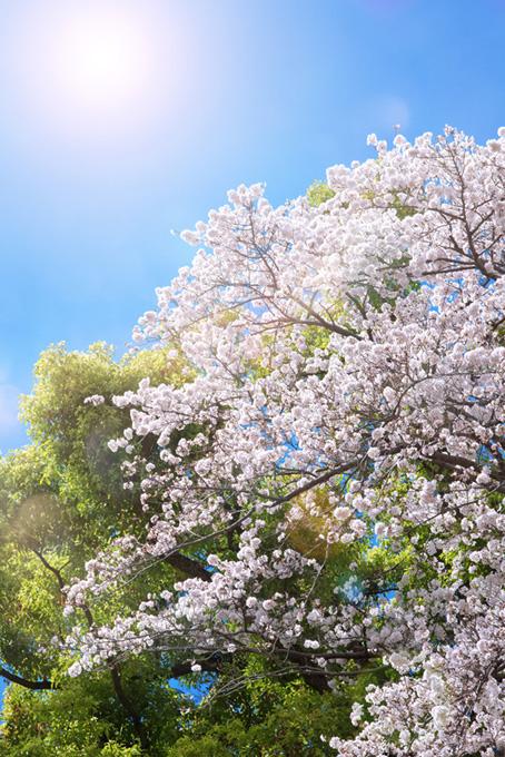 桜と太陽と緑の背景(桜 開花の画像)