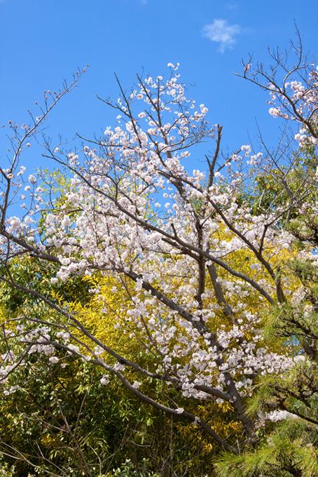 花開く春の初めの桜(桜 開花の画像)