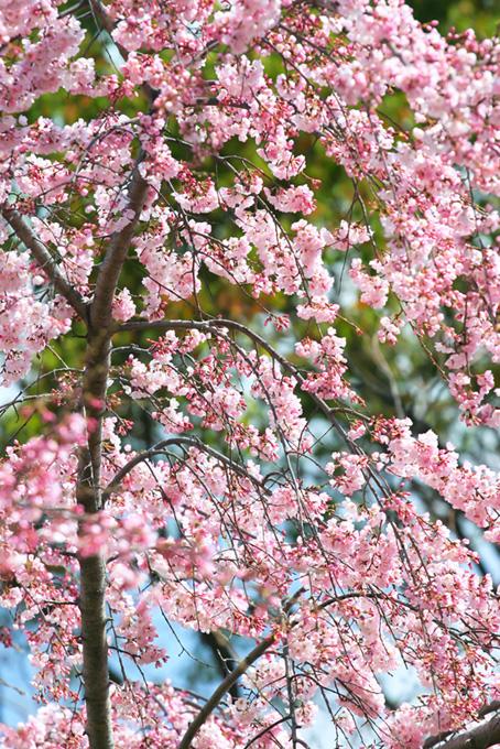 かわいらしいピンクの桜(桜 待ち受けの画像)