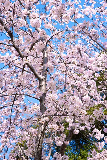 淡いピンクの桜の春景色(桜 待ち受けの画像)