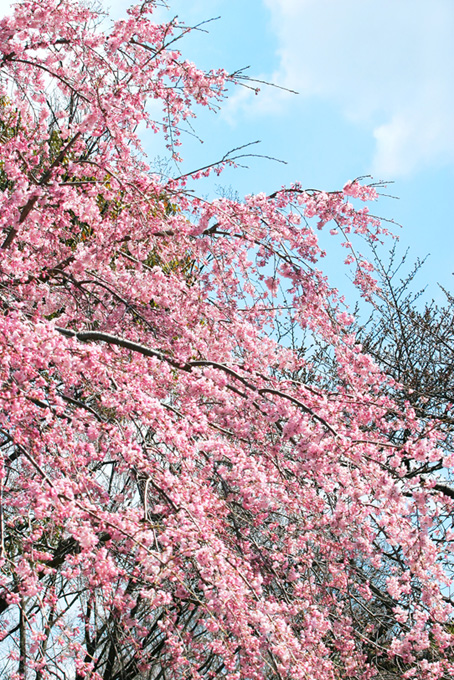 鮮やかなピンクの桜と空(桜 待ち受けの画像)