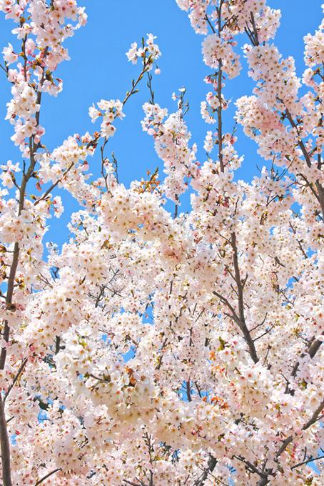 白い花咲く染井吉野(桜 開花の画像)