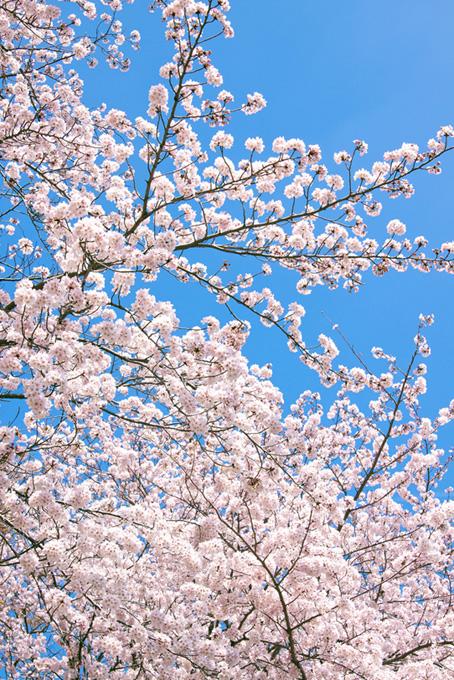 可愛い花を沢山つけた桜(桜 開花の画像)