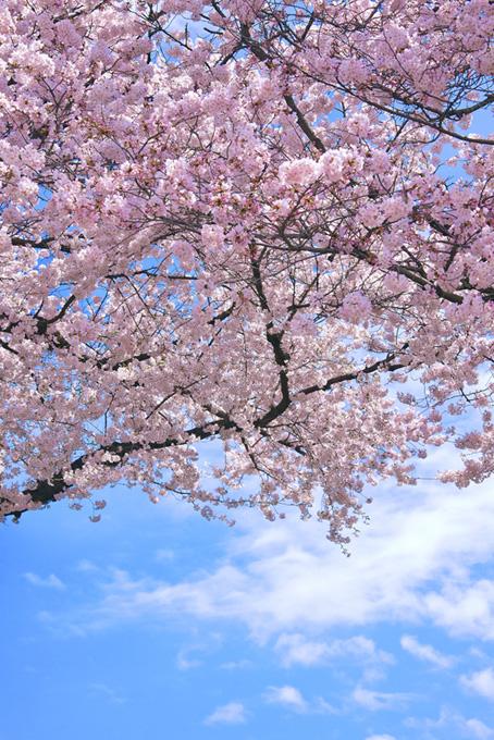 桜の背景イメージ(桜 縦の画像)