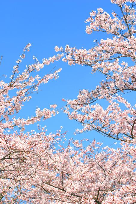 澄み渡る空と桜の写真(桜 待ち受けの画像)