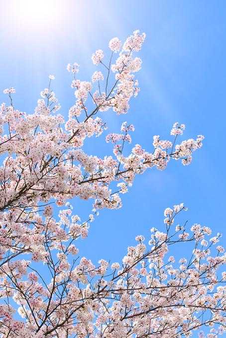 太陽に照らされる桜(桜 待ち受けの画像)