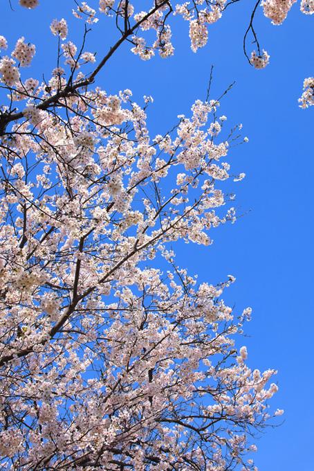 桜と青空の背景(桜 枝の画像)