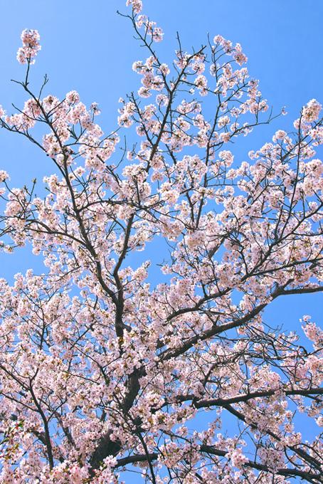 空に広がる桜の枝(桜 枝の画像)