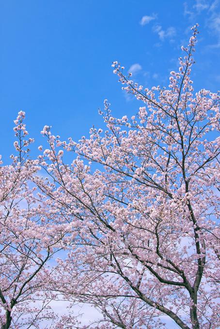 青空に伸びる桜