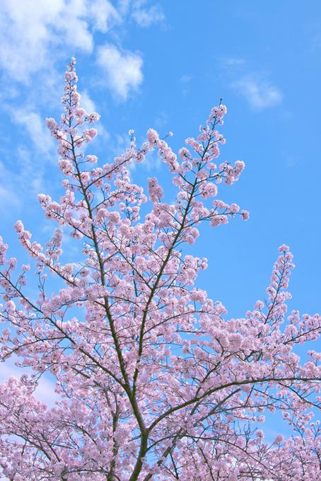 青空に伸びる桜の枝(桜 枝の画像)