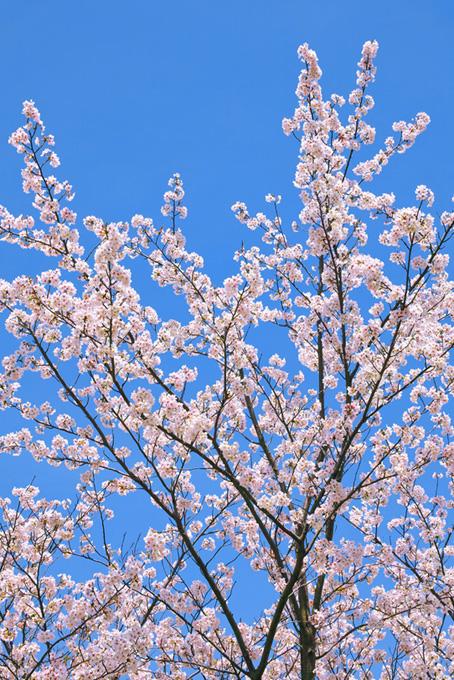 青空に伸びる桜(桜 開花の画像)