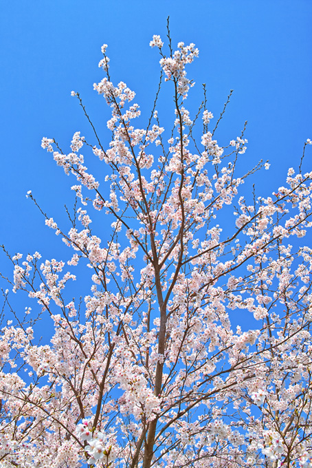 花と蕾のさくらの枝(桜 開花の画像)