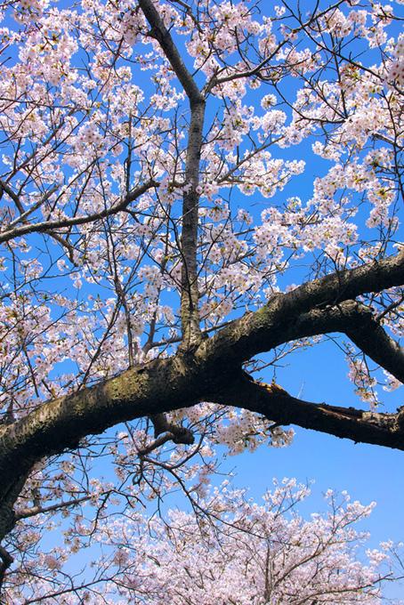 花と蕾が混じる桜の木(桜 開花の画像)