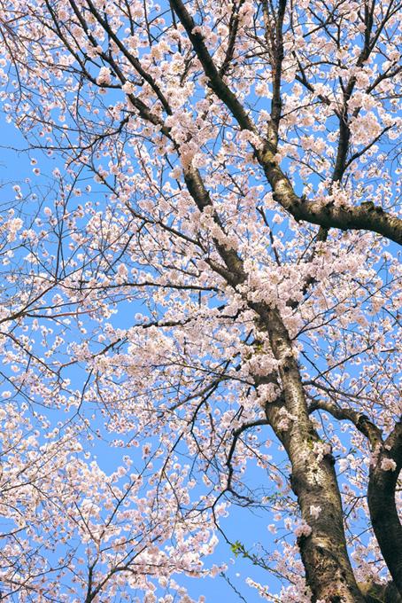 花咲く桜の木と空(桜 開花の画像)