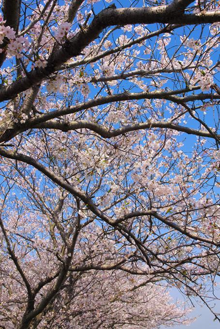 咲き始める桜並木(桜 開花の画像)