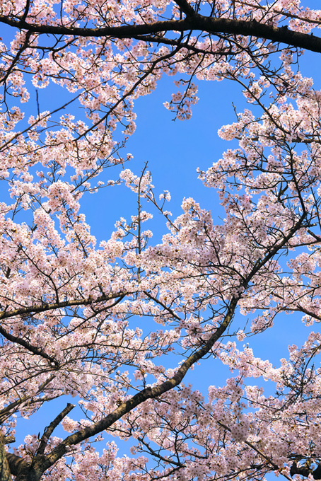 淡いピンクの花と蕾の枝(桜 開花の画像)