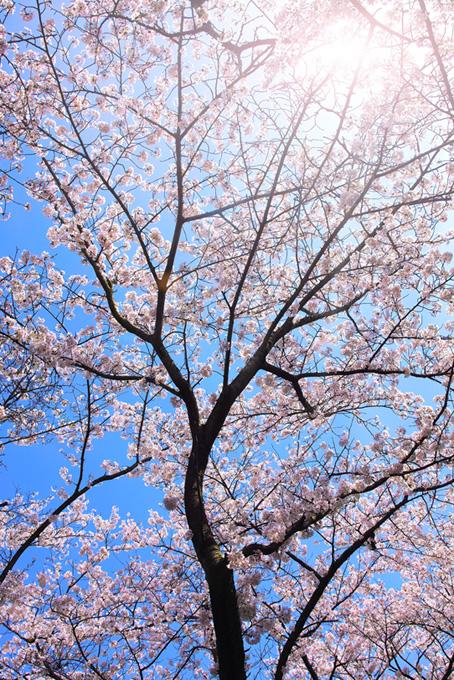 桜と太陽の光(桜 かっこいいの画像)