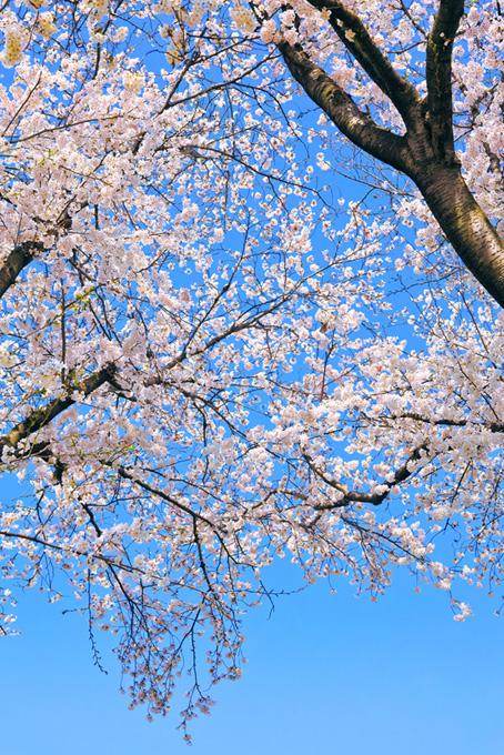 青空に桜の花咲く春景色(桜 開花の画像)