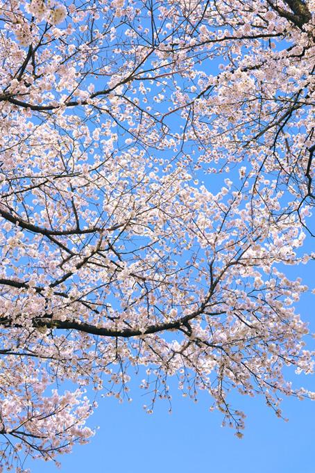桜咲く春の空(桜 縦の画像)