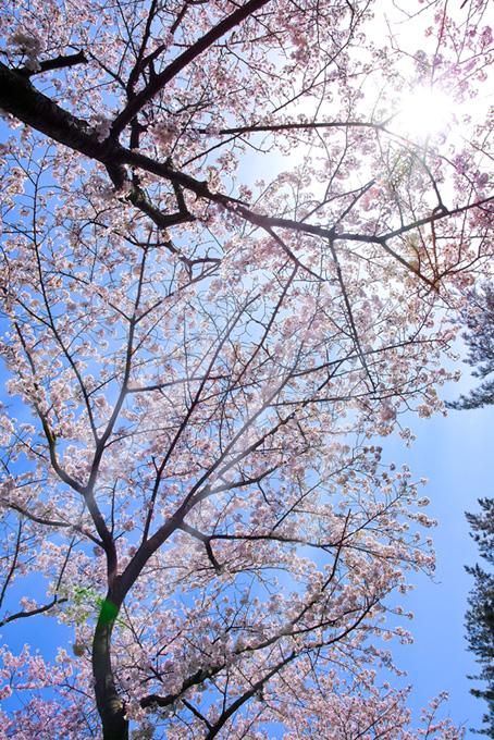 太陽が照らす桜の木(桜 かっこいいの画像)