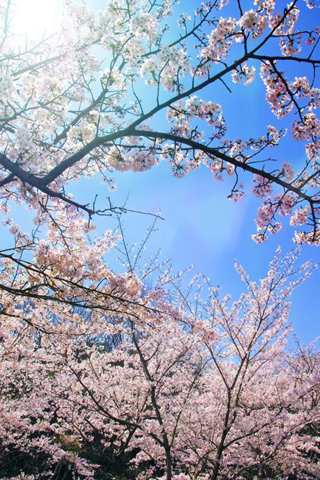 桜咲く春の空(桜 かっこいいの画像)