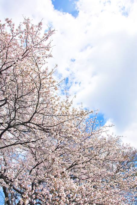 白い桜と大きな雲の空(桜 風景の画像)