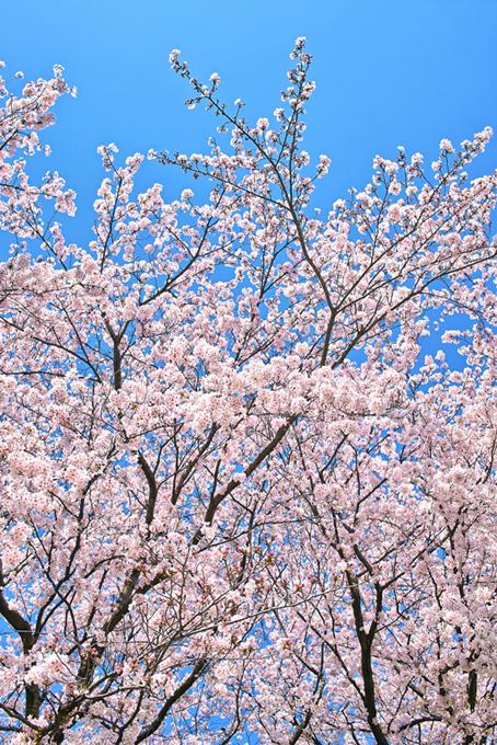 青空に向かって咲き始める桜(桜 開花の画像)