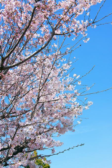 桜の花と枝先のつぼみ(桜 枝の画像)