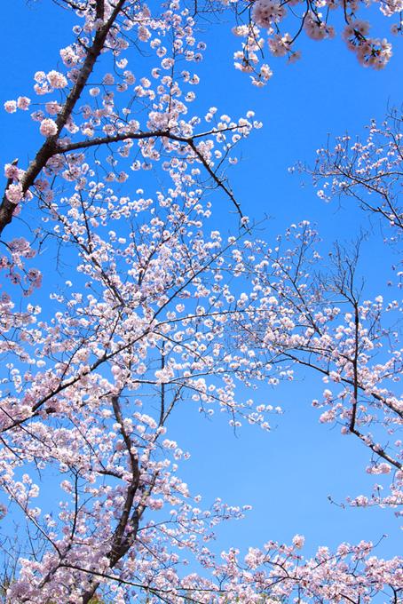 五分咲きのソメイヨシノ(桜 枝の画像)