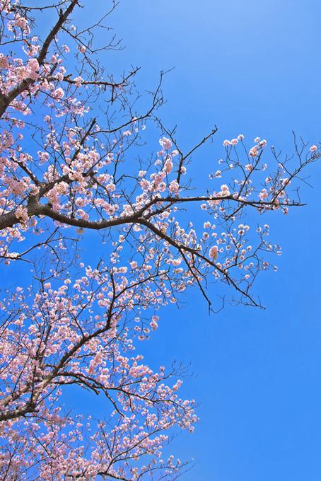 咲き始めの桜(桜 枝の画像)