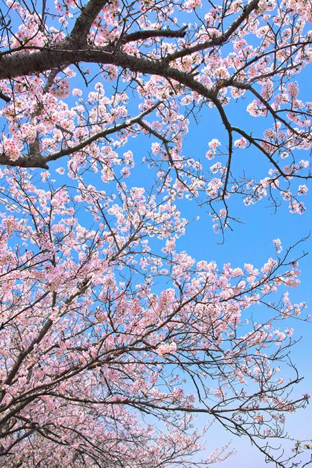 綺麗な青空と春の桜(桜 枝の画像)