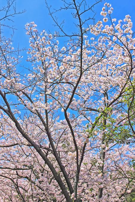 葉が混じる桜の木(桜 枝の画像)
