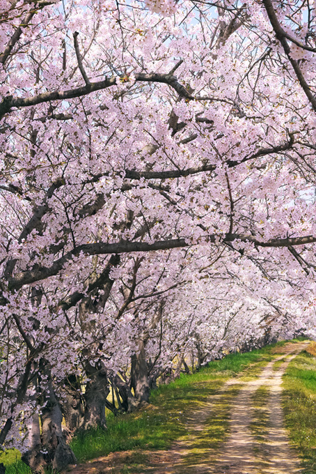 桜のトンネルと小道の春風景(桜 風景の画像)